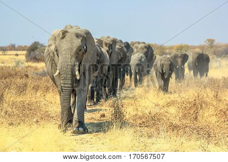 A herd of African elephants walking in Ethosa National Park Namibia on yellow grass savanna.