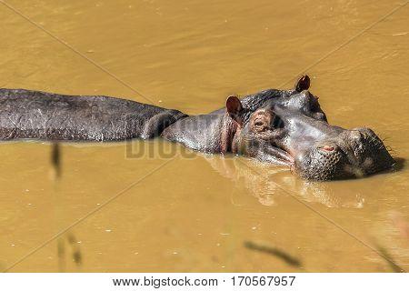 hippopotamus in a river resting in Serengeti National Park, Tanzania Africa.