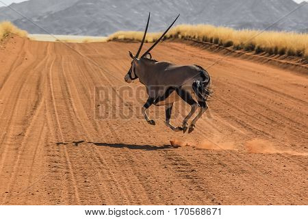 A Gemsbok running at breakneck speed runs on the road strerra D707, an isolated road in the middle of the Namib Desert, Namibia Africa.