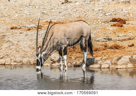 Gemsbok solitary drinking at a puddle in the Etosha