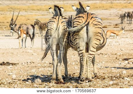 Two zebras standing, back side view in Namibian savannah, Africa