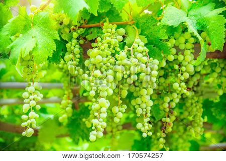 Green grapes.