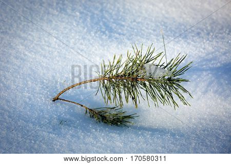 small pine twig in snow