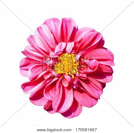 mona lisa flower pink flower spring flower isolated on white background