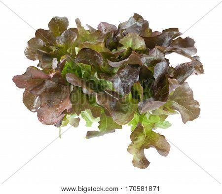 Oak Leaf Lettuce Isolated