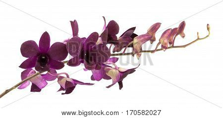 Beautiful purple streaked orchid flower isolated .