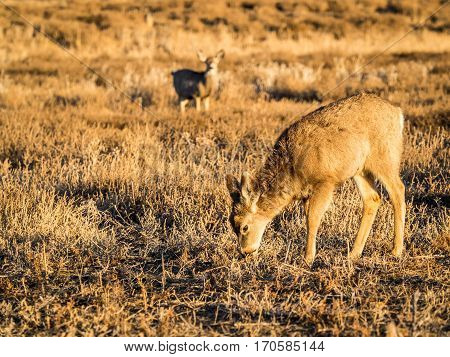 Colorado mule deer grazing on prairie grass in late afternoon