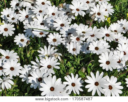 Wild African Daisies, Grow Wild In Western Cape, South Africa
