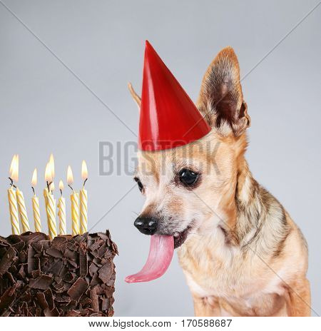 a chihuahua on a gray background with a giant tongue licking a birthday party cake with candles on fire
