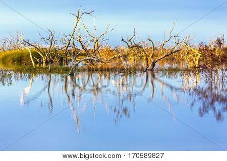 Lake Menindee, outback New South Wales, Australia.  Flooded dead trees in the main weir, at sunset.