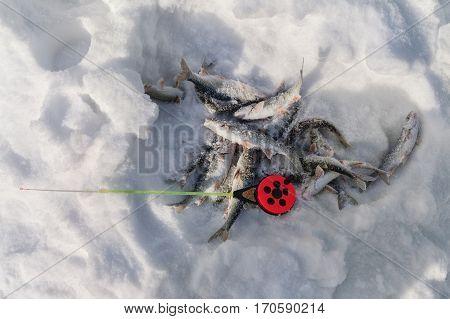 Fishing rod and fish caught on winter fishing
