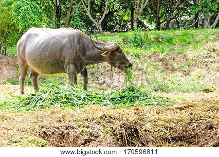 Thailand buffalo is a pet of farmer.