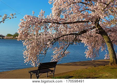 Bench and a blossoming cherry tree near water. Beautiful spot near Tidal Basin to enjoy cherry blossom in Washington DC USA.