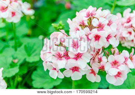 Beautiful pink geraniums in the garden .