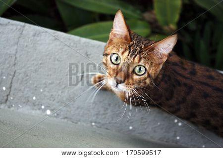 Bengal cat pet stare green eye looking