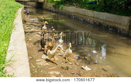 Group of ducks ready to cross the river photo taken in dramaga bogor indonesia java
