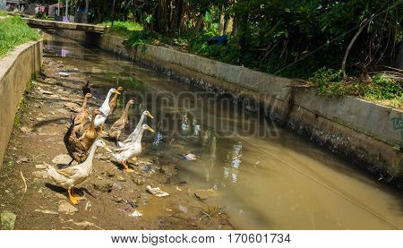 Group of ducks will cross the dirty river photo taken in dramaga bogor indonesia java