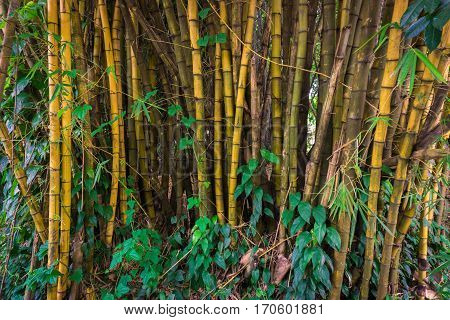 Yellow bamboo groove with bush photo taken in Kebun Raya Bogor Indonesia java