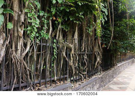 a Big tree with big and long roots beside sidewalk at kebun raya bogor indonesia java