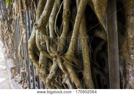a big ancient tree with big and long dry roots at kebun raya bogor indonesia java
