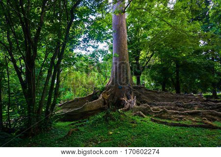 Kayu Raja or The King Tree from asia with big root and one of the biggest tree in the world photo taken in Kebun Raya Bogor Indonesia java.