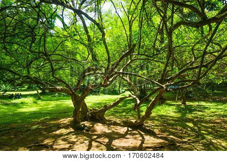 A beautiful tree with long and tiny branches photo taken in kebun raya bogor indonesia java