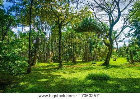 Great landscape with high and big tree completed with green grass photo taken in Kebun Raya Bogor Indonesia java
