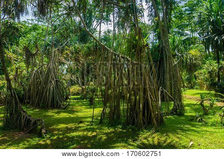 Great landscape with big tree with long dry roots photo taken in Kebun Raya Bogor Indonesia java