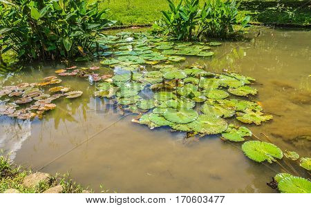 Lotus or water lily on a little pond with green water photo taken in Kebun Raya Bogor Indonesia java