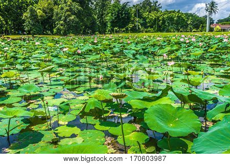 Lotus or water lily fulfill the pond near Istana Negara Bogor with beautiful landscape photo taken in Bogor Indonesia java