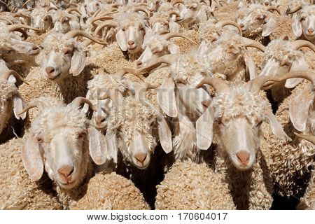 Angora goats crammed in a paddock on a rural farm