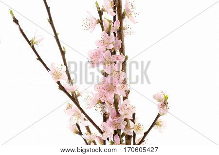 Branch with pink cherry blossoms isolated