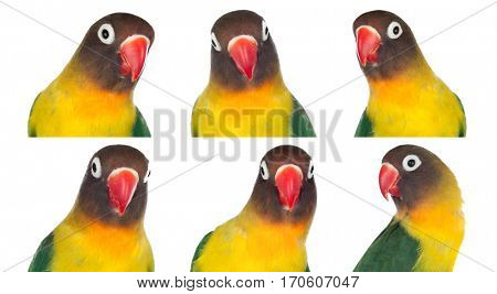 Nice sequence with portraits of a parrot with yellow feathers and red peak