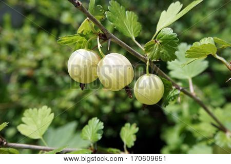 Green gooseberries (Ribes uva-crispa) grow on a gooseberry bush in a garden in Joliet, Illinois during June.