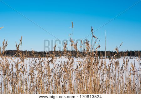 winter field with the forest behind. Sunny day. Clear blue sky