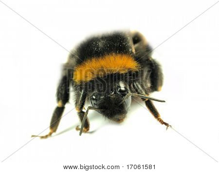 Humble bee isolated on white