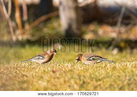Cute Common Chaffinch passerine bird foraging grass for food on sunny day, winter in Austria, Europe (Fringilla coelebs)