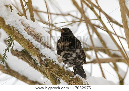 Male Common blackbird bird in black with albino grey white feather, yellow eye ring, snow on beak perching on tree branch cover with snowflakes during winter in Austria, Europe (Turdus merula)