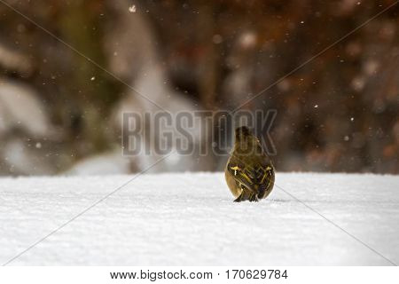 Back of Common Chaffinch passerine bird walking all alone on snow during snow falling. Cold winter in Austria, Europe (Fringilla coelebs)