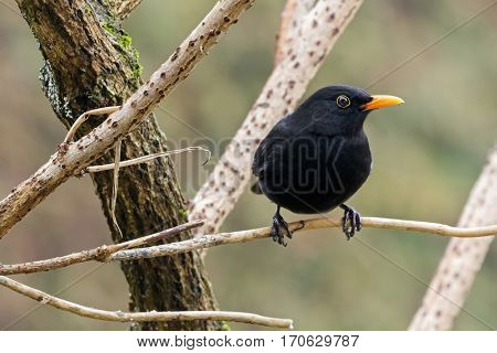 Male Common blackbird bird in black with yellow eye ring, beak perching on dried tree branch during winter in Austria, Europe (Turdus merula)