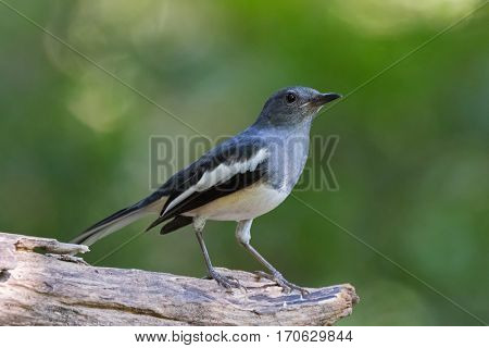 Female Oriental Magpie Robin bird (Copsychus saularis) in gray black and white perching on log with blurred green background
