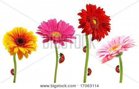 Perfect spring daisies collection with ladybugs isolated on white