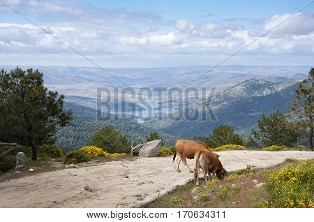 Two cows grazing in Casillas Mountain Pass, Iruelas Valley Natural Park, Avila, Spain, with the El Bruguillo reservoir at the background