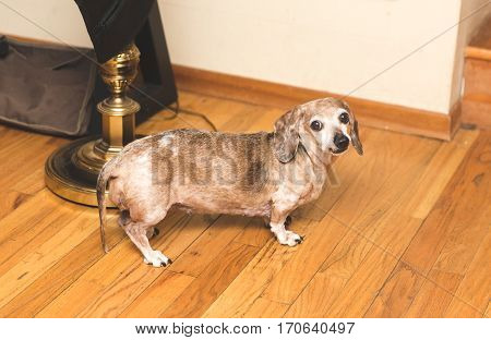 Female Dachsund dog with brown and white fur buggy eyes and snaggle-tooth lip. Cute dog. Funny dog.
