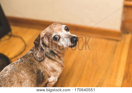 Female Dachsund dog with brown and white fur buggy eyes and snaggle-tooth lip. Cute dog. Funny dog. Comedy gold.Her name is Mina.