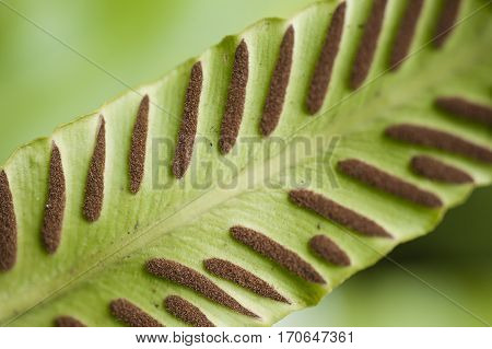 Spores lines and spots on underside of fern leaves.