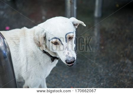 white dog was faking draw eyebrows on street