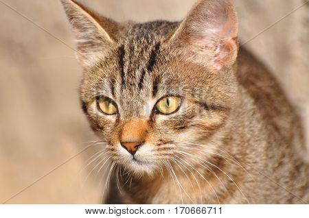 Portrait of beautiful domestic grey cat, cat's eye