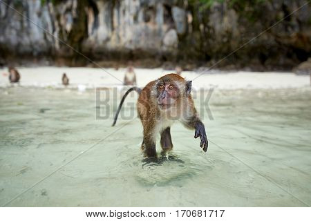 Monkey waiting for food in Monkey Beach Phi Phi Islands Thailand