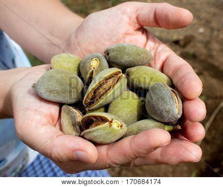 Harvesting almonds, ripe almonds in the palms